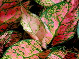 "Aglaonema ""Lady Valentine"" 
