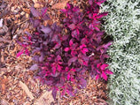Buy Plants Online Alternanthera Firebug Free Shipping Aust