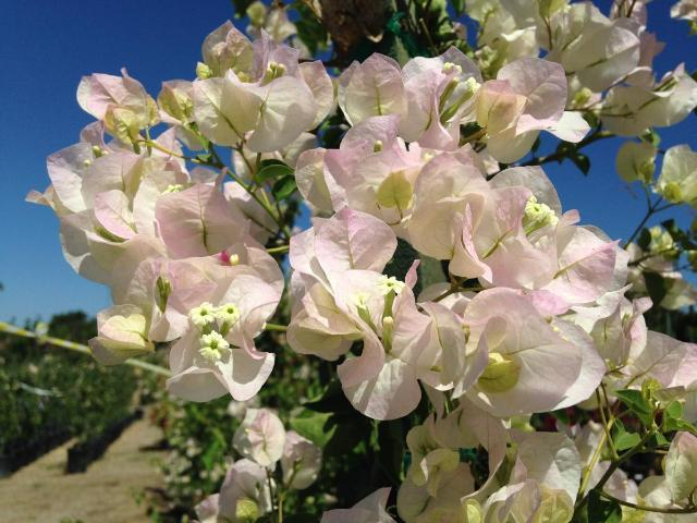 Bougainvillea Jamaican White | Hardy Climber