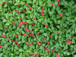 Acalypha reptans Stephie | Lance Leaf Copper Plant | Plants in a Box