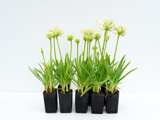 Agapanthus Double Diamond is a dwarf variety with white flowers that stand above the flat strap like leaves