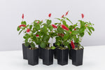 Acalypha reptans Stephie groundcover plants with fluffy tail-like red flowers on heart-shaped green leaves