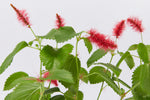 Fluffy red flowers of the Acalypha reptans Stephie groundcover plants