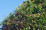 Buy Acmena smithii Lilly-Pilly online - 10 Plants $61.95
