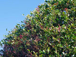 Buy Acmena smithii Lilly-Pilly online - 10 Plants $49.95