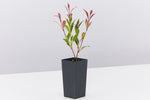 Acmena smithii Forest Flame Medium Hedge Pack