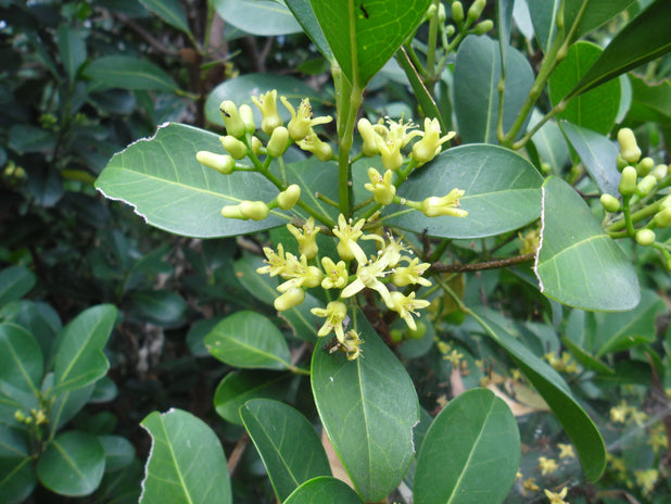 Acronychia imperforata | dark green leaves with yellow flowers | australian native tree