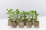 8 Adenium obesum Desert Rose in paper pots with fleshy, fat stems and glossy green leaves