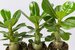 Adenium obesum Desert Rose in paper pots. Glossy green leaves with contrasting veins