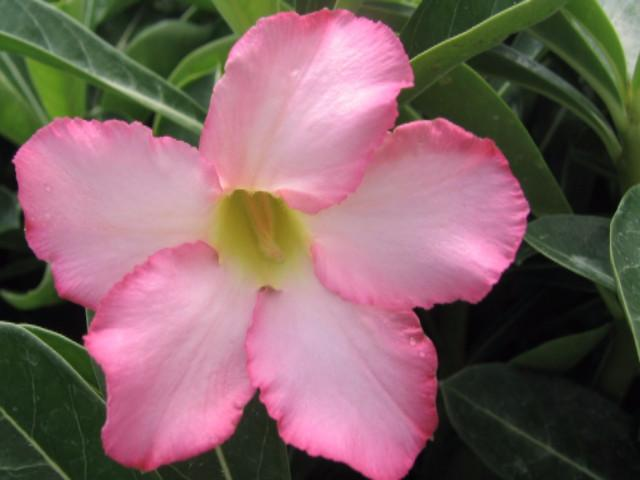 Adenium assorted colours mixed flowering- pot planters beautiful plant