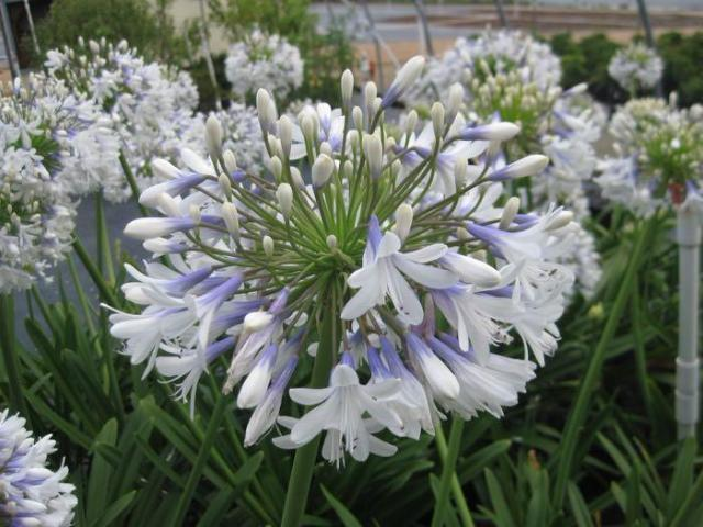 Queen Mum™ Agapanthus orientalis 'PMN06' | Border plant | Mass planting | Blue and White Flowers | Strappy plant