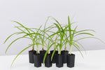 Agapanthus orientalis Black Magic strappy green leaves