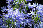 Agapanthus Queen Anne
