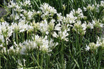 Agapanthus Snow Flake | Plants in a Box