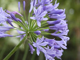 Buy Agapanthus Blue Online | Plants in a Box | Free Shipping Australia Wide