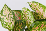 Varigated red, pink and white foliage of the Aglaonema commutatum Red Valentine