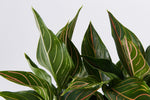 Aglaonema commutatum Red Vein foliage with longer skinnier leaves.