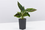 Aglaonema Plant Red Vein slender dark green leaves with red veins