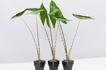 Alocasia Zebrina plants: arrowhead green leaves sat atop long white and black striped stems