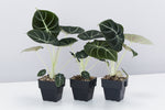 The Alocasia Black Velvet or Elephant Ear plant has beautiful dark velvet leaves and is a top 10 indoor collector plant