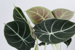 Black Velvet is a dwarf Alocasia and has dark, almost black leaves, adorned with brilliant silvery-white veins and velvety look