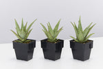 Aloe Christmas Cracker succulent plants with deep green leaves and stripes of dark vibrant red raised markings.