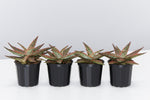 Aloe Christmas Cracker | green leaves with red raised markings