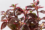 Alternanthera amoena 'Purple Splash'