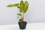 Anthurium andreanum Red Victory 85mm