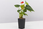 Anthurium andreanum Easy Red