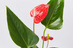 Anthurium andraeanum Felicita 85mm