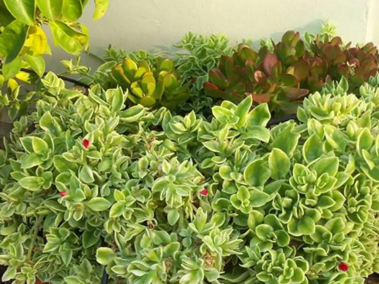 Aptenia cordifolia variegata | Plants in a Box | Free Shipping!! | Buy Premium Plants online