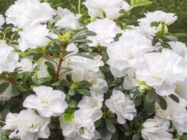 8 100 plants azalea indica white bouquet evergreen shrub white 8 100 plants azalea indica white bouquet evergreen shrub white flowers mightylinksfo Gallery