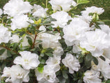 Azalea indica White Bouquet | Free Postage | Shrubs From $3.90 With Free Shipping!