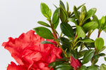 Azalea Goyet | dark green leaves with red ruffled flowers