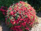 Azalea Christmas Cheer | Plants in a Box | Free Shipping Australia