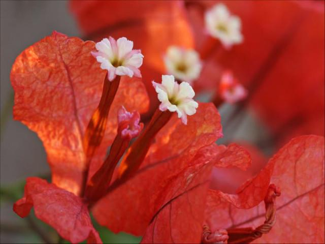 Bougainvillea Jamaican Orange