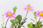 Up close of the dainty candy pink daisy-like flowers of the Brachyscome multifida Fresco Candy