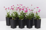 Brachyscome Radient Magenta flowering plantswith bright pink daisy-like flowers and mid0green foliage