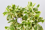 Dwarf variegated yesteday today and tomorrow | scented lilac flowers with variegated foliage
