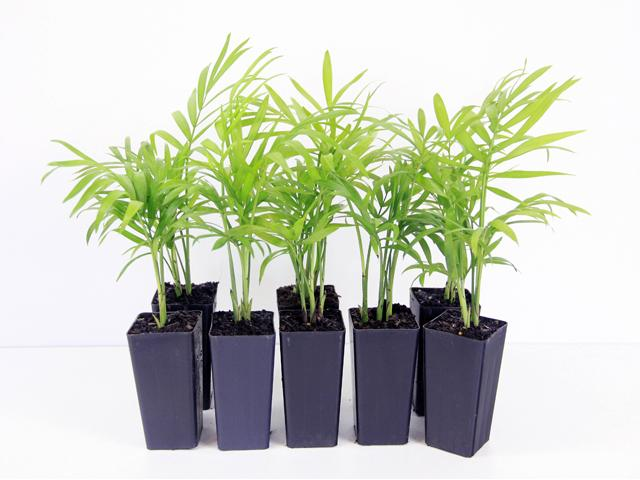 Buy Chamaedorea Elegans Parlor Palm Online - Best way to buy plants online Australia Wide