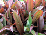 Cordyline fruticosa 'Firestorm' | Plants in a Box | Free Shipping Australia