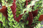 Plants in a Box | Calathea Insignis | Prayer Plant