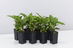 Group of Calathea louisae freddy plants with silver and green striped leaves