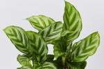Up close of Calathea Louisae Freddy silver and green striped leaves
