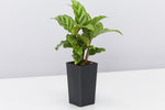 "single Calathea ""louisae"" Freddy indoor plant in black pot"