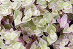 dainty waxy pink, green and white variegated leaves dotted