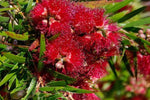 Callistemon Viminalis Captain Cook | Australian Native Garden | Bottlebrush | Bird attracting shrub
