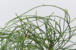 Detail of Casuarina glauca prostrate, a dense native groundcover