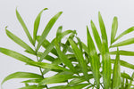 Office Plants Online Parlour Palm